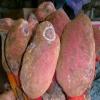 1 100x100 - Nấm ngọc cẩu tươi
