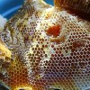 sap ong rung 100x100 - Sáp tổ ong rừng