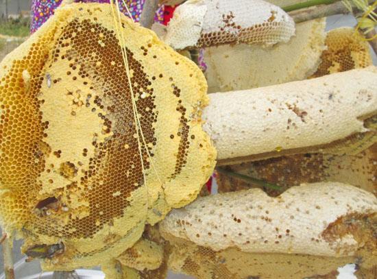 to ong rung - Tổ ong rừng