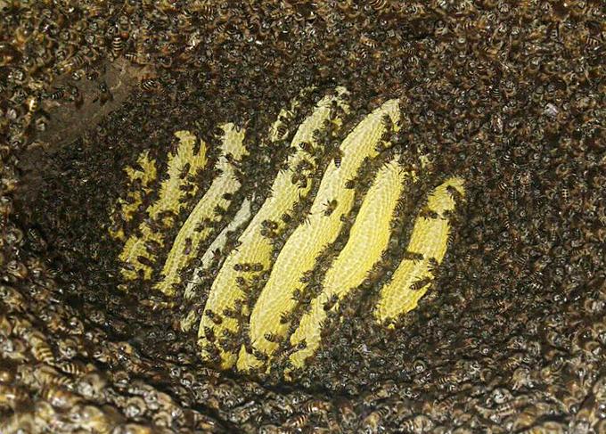 Săn mật ong rừng Tây Bắc